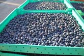 You Pick Blueberries in Whatcom County at Haugen's Berry Farm!